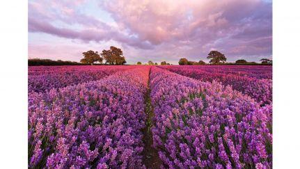 Poster Lavendel