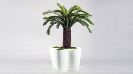 Cycus Palm x36