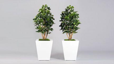 Schefflera Exotica Tree