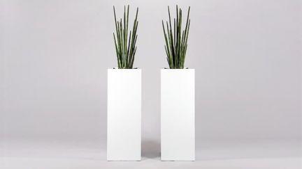 Sanseviera Plant 26 Lvs
