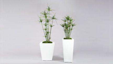 Cyperus Plant