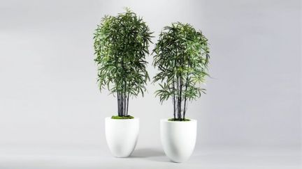 False Aralia Bamboo Tree